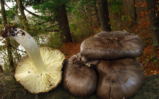 Tricholoma portentosu